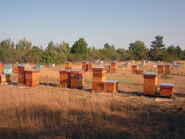 Les abeilles domestiques peuvent vivre dans de nombreuses ruches placées dans une clairière