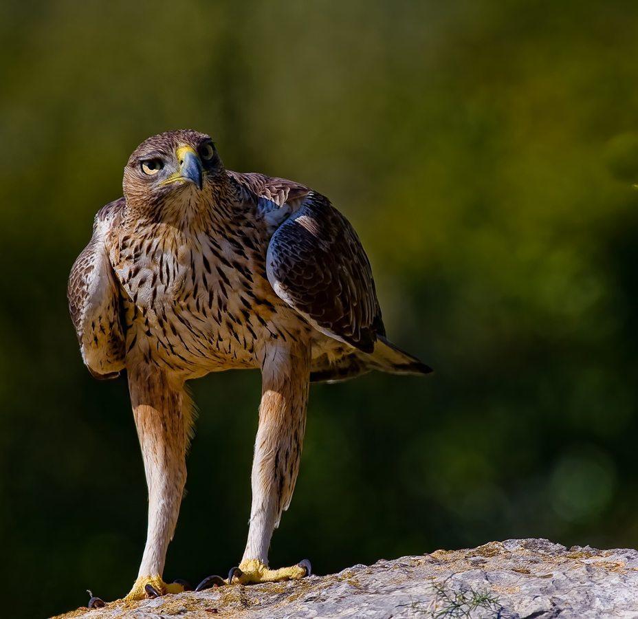 Aigle de Bonelli en observation