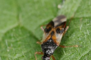 Anthocoris