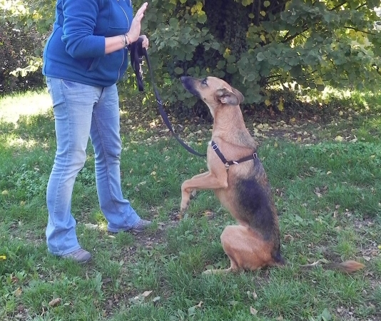 Chien en dressage - Cession d'apprentissage canin par le conditionnement