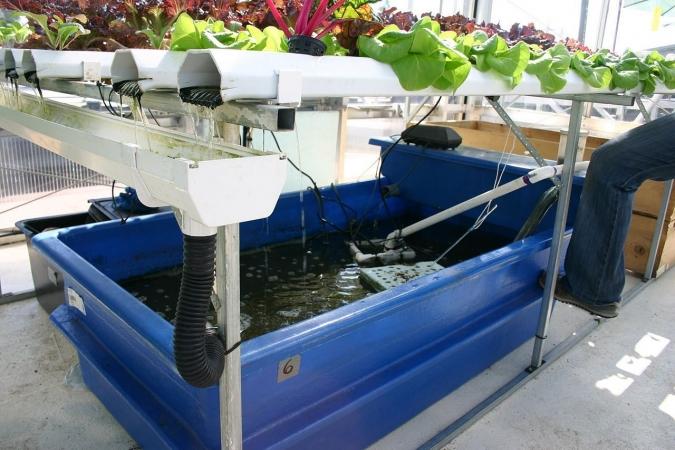 L'aquaponie est un système avec plantes au-dessus et des poissons en-dessous.