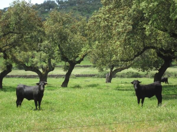 Du champ à l'arène, la vie des taureaux de combat