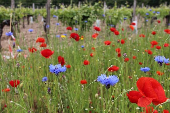 Belle bande fleurie en bordure d'exploitation viticole