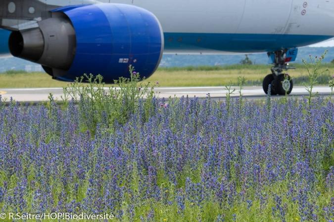 Vipérine particulièrement mellifaire sur un terrain d'aviation
