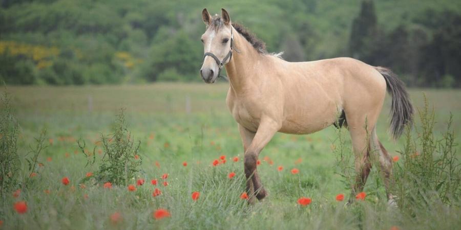 Un cheval Curly en pleine nature