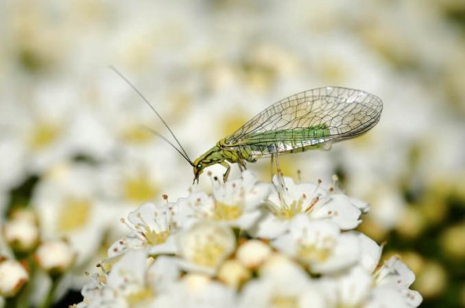 Chrysope sp. sur fleur