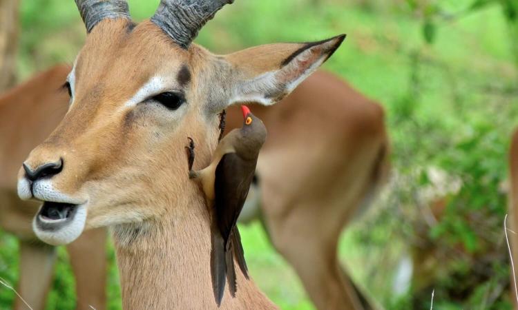 Pique-bœuf en action de nettoyage dans le parc Kruger an Afrique du Sud : un complexe exemple de coévolution