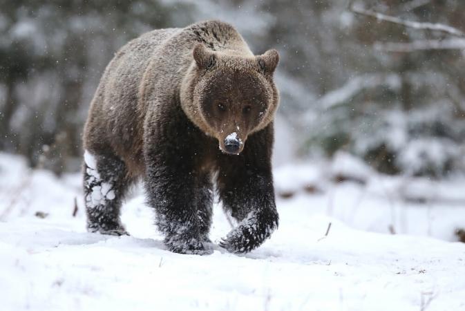 Une cohabitation avec les grands prédateurs est-elle possible ?
