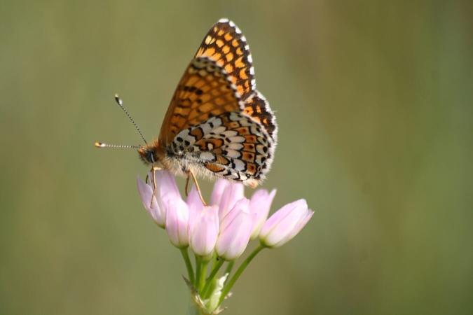 La Mélitée du plantain (Melitaea cinxia) est un de ces insectes dont la renaissance à lieu dès la sortie de l'hiver