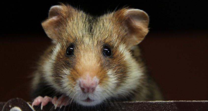 Grand hamster d'alsace (Cricetus cricetus) d'élevage en gros plan