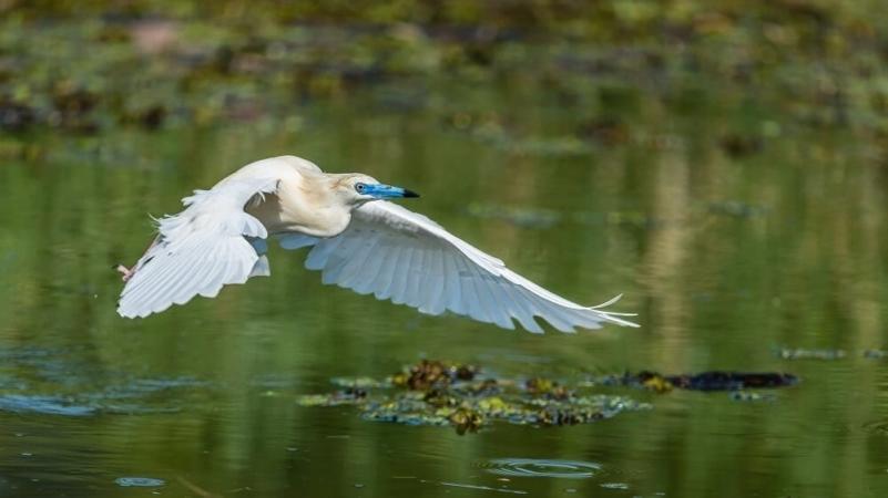 Crabier blanc en plumage nuptial