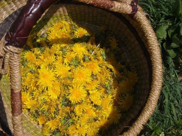 Cueillette des plantes sauvages : les fleurs de pissenlit (Taraxacum officinale) sont délicieuses en apéritif ou en gelée !