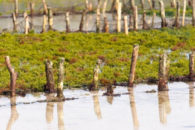 Un champ d'algues en Indonésie