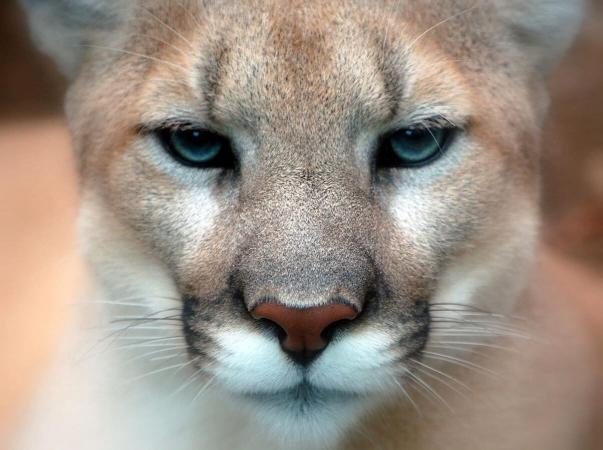 Gueule de cougar en gros plan