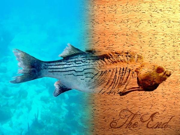 Les effets du réchauffement climatique sur le métabolisme des poissons s'annoncent désastreux