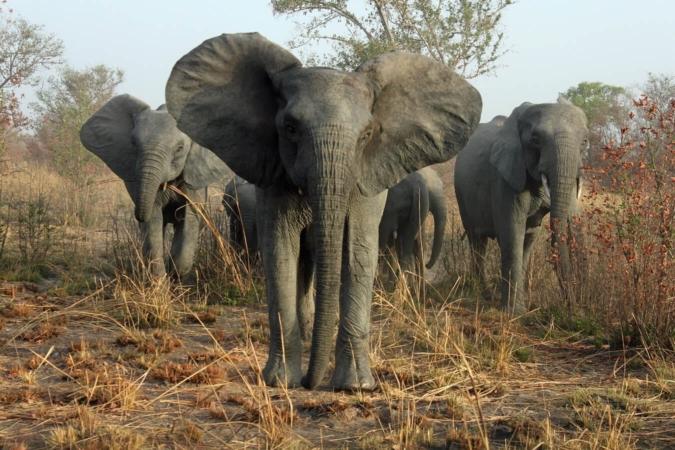 Mais où sont passées les défenses des éléphants ?