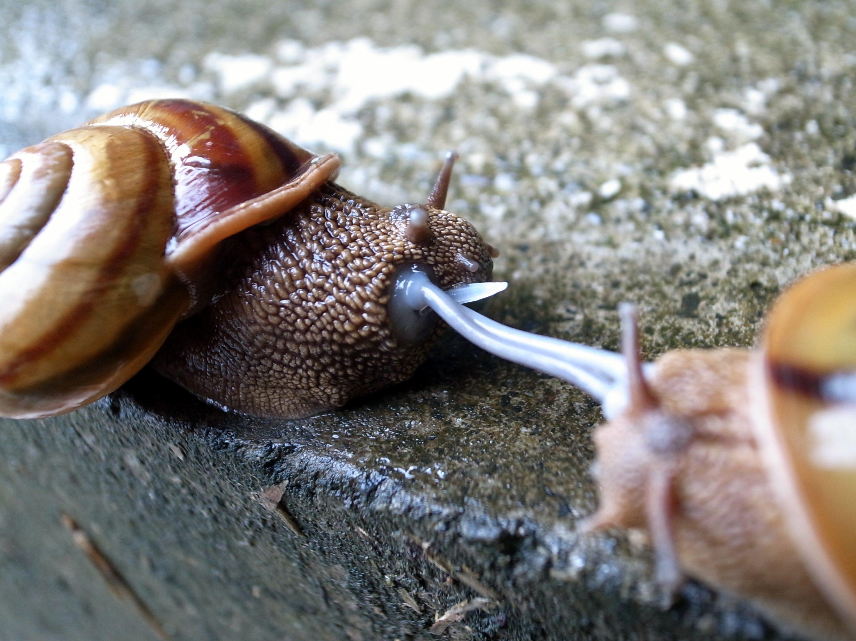 Scène de reproduction dans un élevage d'escargots