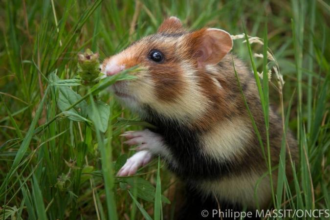 Grand hamster d'Alsace près de son terrier