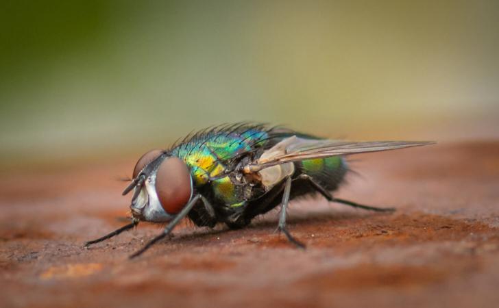 Incroyables diptères et leurs vision multi-facettes !