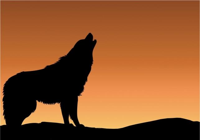 Loup en Alsace, devant un soleil couchant