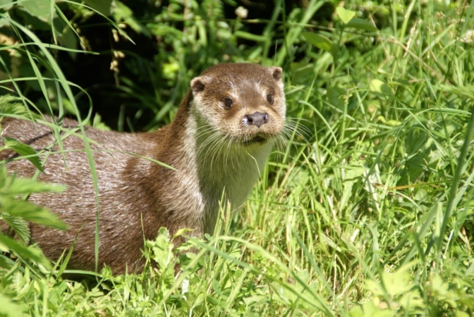 Loutre d'Europe, toujours curieuse !