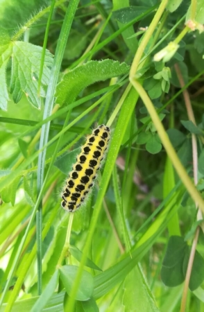 Chenille d'un papillon de la famille des Zygénidés (Zygaena sp)