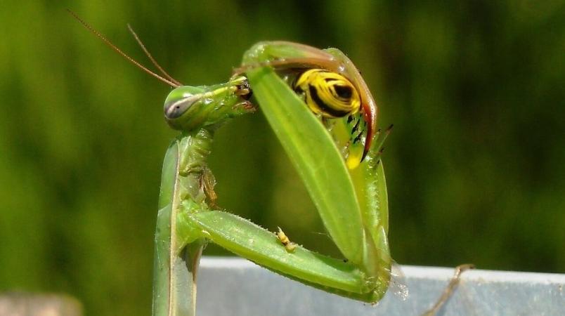 Mante en plein repas (Mantis religiosa)