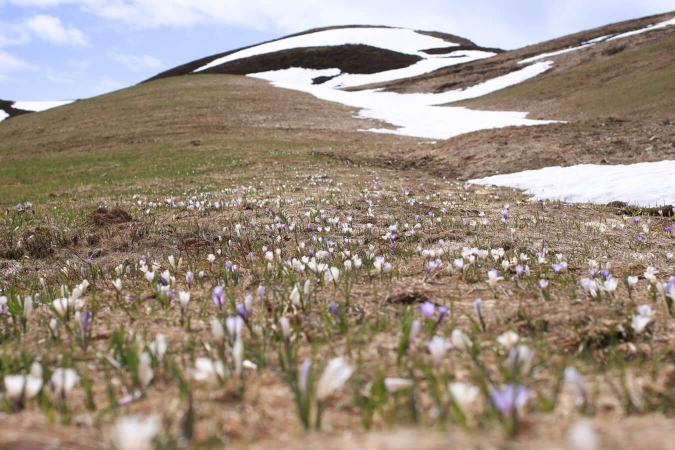 Crocus dans le massif du Mont Blanc