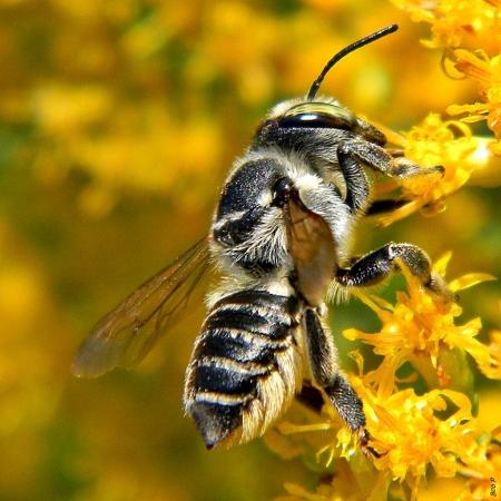 Mégachile sp. En train de collecter du nectar