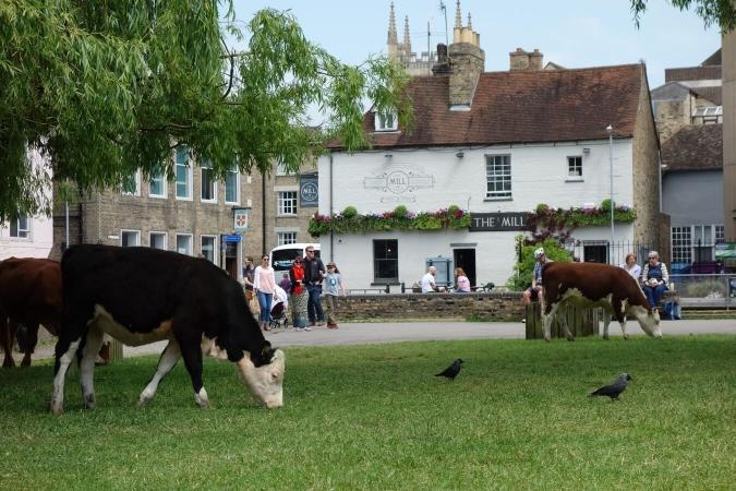 Vaches pâturant dans un parc de Cambridge (Angleterre)