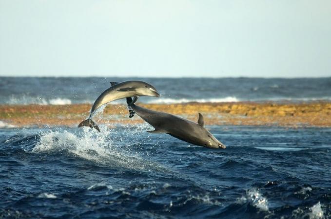 Les grands dauphins passent beaucoup de temps à socialiser dans la passe de Tiputa, à Rangiroa