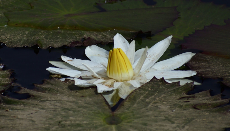 Nénuphar blanc des étangs