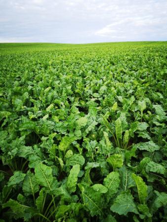Néonicotinïdes : nos champs de betteraves sont-ils condamnés à être vides de vie ?