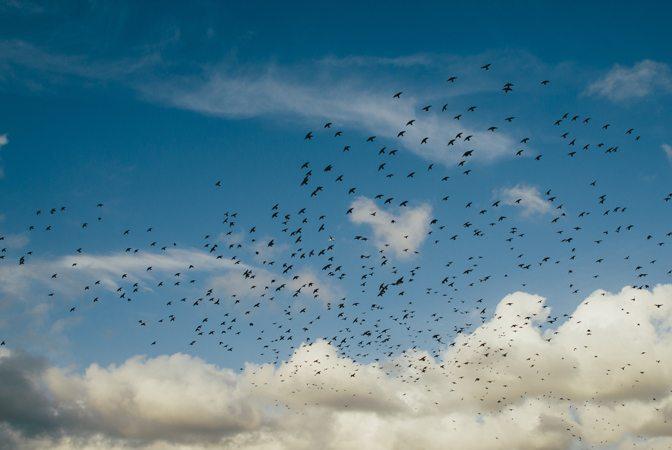 Oiseaux auxiliaires de culture