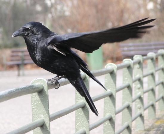 Corneille noire perchée sur une barrière en ville
