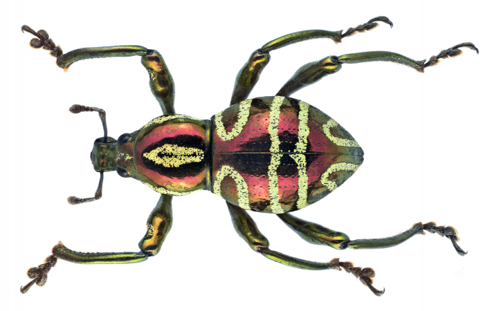 Pachyrrhynchus speciosus pris en macro et daté de 1871
