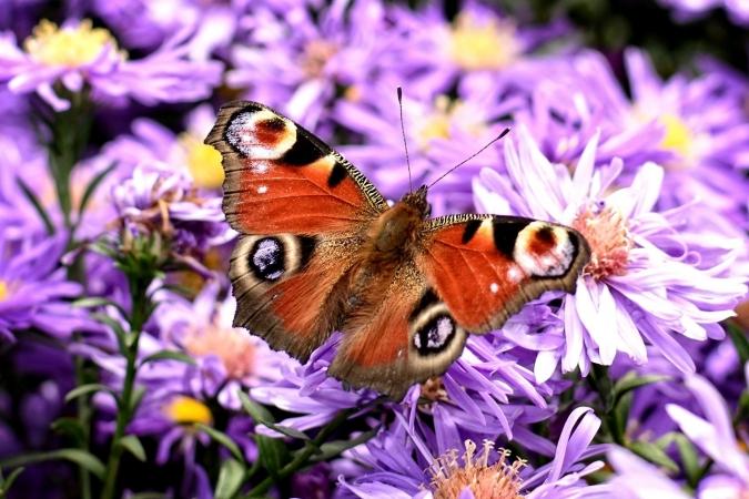 Gros plan d'un papillon Paon du jour (Aglais io)