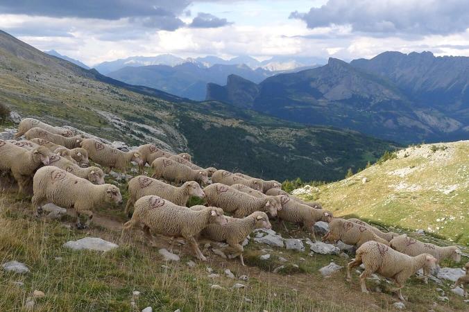 Exemple de pastoralisme : Pâturage dans les Hautes-Alpes dans le Devoluy