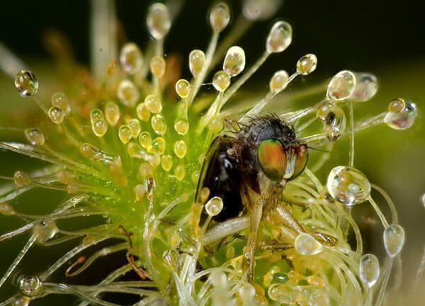 Mouche prise au piège d'une plante carnivore
