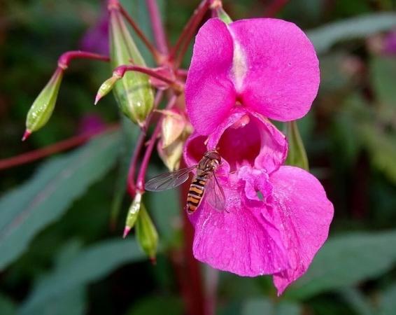 Une plante invasive ? La Balsamine de l'Himalaya (Impatiens glandulifera) nourrit très bien nos Syrphes !
