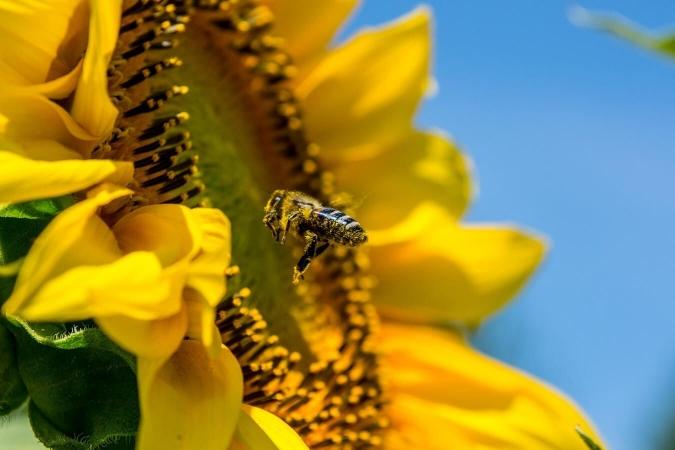 Les abeilles sont les pollinisateurs les plus connus