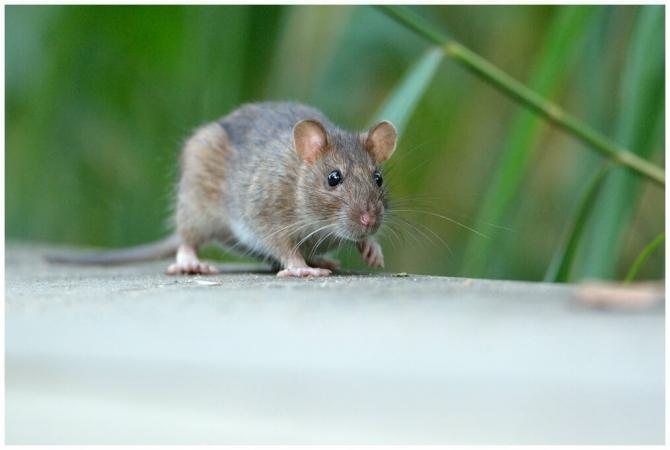Rattus norvegicus près du Parc de Bercy