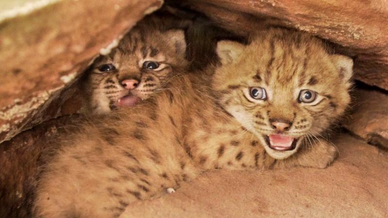 Filou et Palu, lynx mâles dans leur cachette