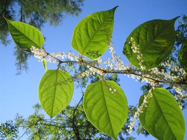 Tige de renouée du japon avec ses feuilles et ses fleurs.