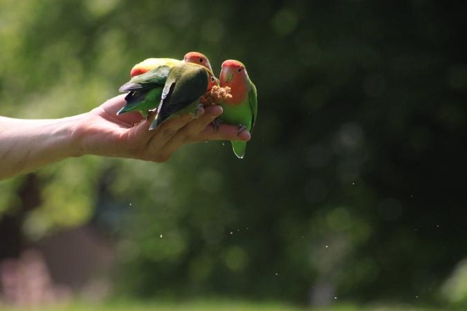 Le soigneur animalier et ses compagnons : inséparables lors d'un spectacle d'oiseaux en vol libre