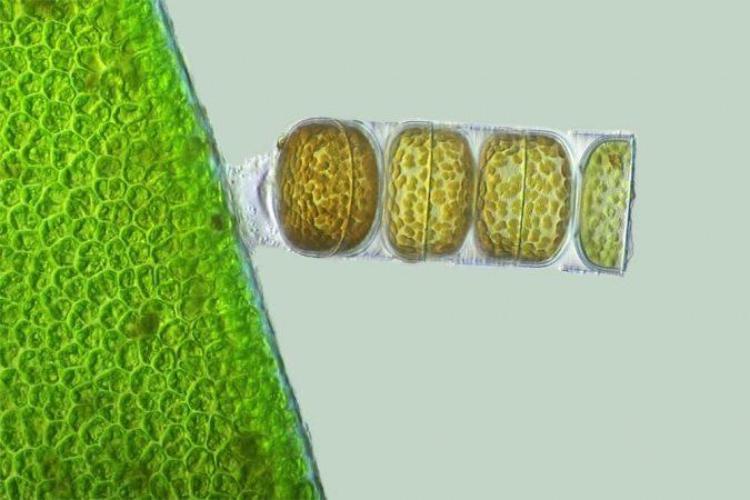 Diatomée Melosira monoliformis présente dans la Terre de diatomées