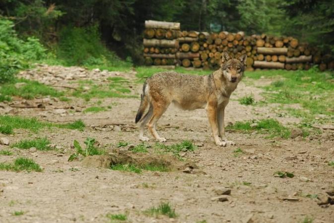 Les tirs de loups ne concernent pas que la France : loup italien dans son milieu