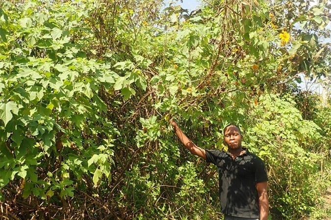 Productif et pouvant atteindre trois mètres : le Tournesol mexicain (Tithonia diversifolia)