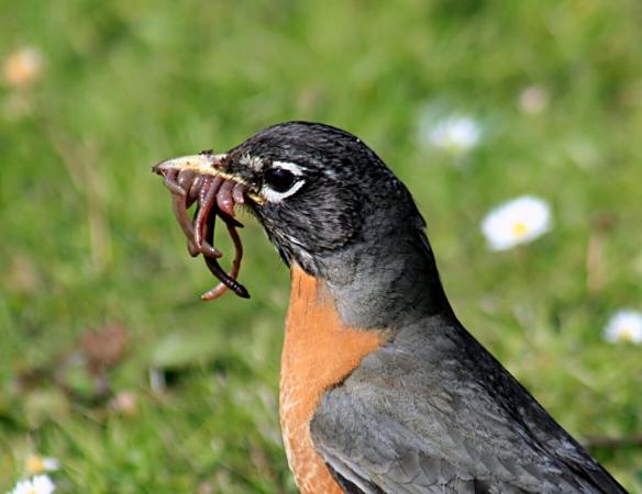 Turdus migratorius prèt à passer à table : le ver de terre est un festin !