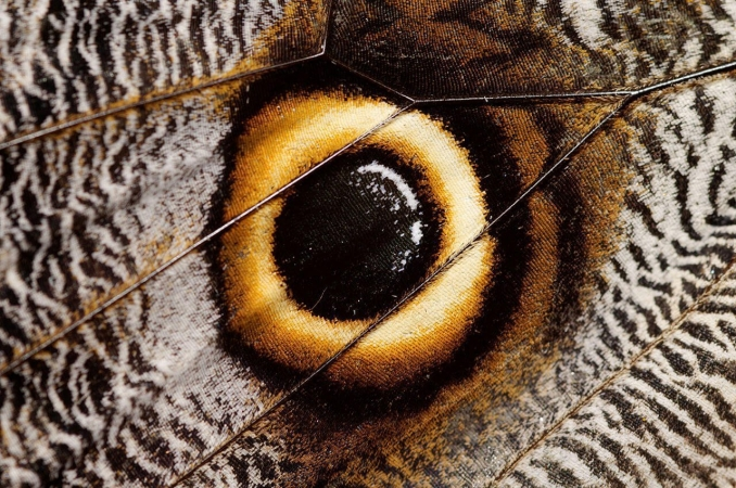 Ocelle de lépidoptère imitant un œil pour impressionner ses prédateurs